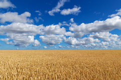 Golden wheat field under blue sky Stock Images