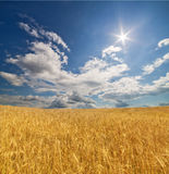 Golden wheat field under blue sky and sun Stock Photos