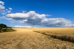 A golden wheat field under a bright blue sky, half of the harvest has already been harvested. royalty free stock photo