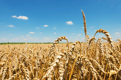 Golden wheat field. Golden wheat field under the clear, blue sky Royalty Free Stock Images