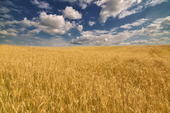 Golden wheat field under dark blue sky Royalty Free Stock Images
