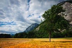 Golden wheat field under mountains. Golden wheat field under high mountains with single tee. Franch Alps Royalty Free Stock Photos
