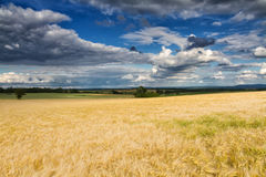 Golden wheat field under a partly cloudy sky Stock Image