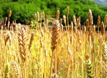 Golden wheat field under the sun Royalty Free Stock Photo