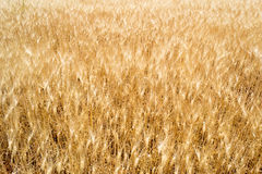 Golden wheat field under the sun Royalty Free Stock Photography