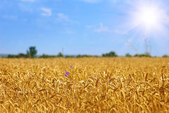 Golden wheat field under sunny blue  sky Stock Image