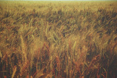 Golden wheat field - vintage Royalty Free Stock Photo