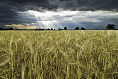 Golden wheat. A field of what under a bad weather royalty free stock image