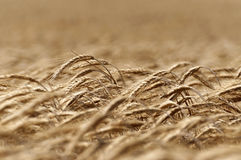 Golden wheat field in wind Royalty Free Stock Image