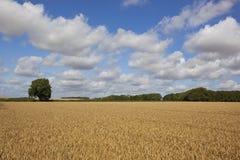 Golden wheat field Stock Photos