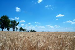 Golden wheat fields 1 royalty free stock photo