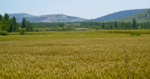 Golden wheat fields Royalty Free Stock Photography