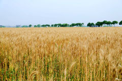 Golden wheat fields in china Stock Photography