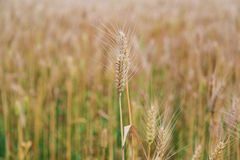 Golden wheat fields in china Royalty Free Stock Images