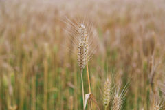 Golden wheat fields in china Royalty Free Stock Photo