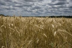 Golden wheat fields Stock Photography