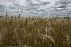 Golden wheat fields stock photos
