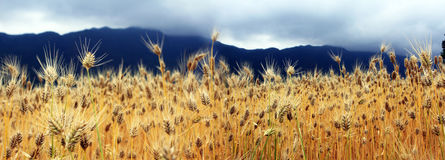 The golden wheat fields. In the harvest season, the golden wheat fields sway in the wind, and the full wheat bears witness to the toil of the peasants Royalty Free Stock Photography
