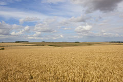 Golden wheat fields Stock Image