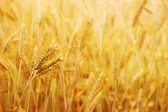 Free Golden Wheat Fields In The Sun Light Stock Image - 116869261