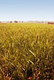 Golden Wheat Fields Royalty Free Stock Images