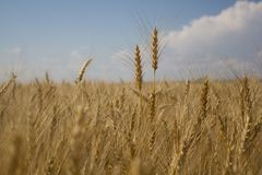 Golden wheat fields royalty free stock photo