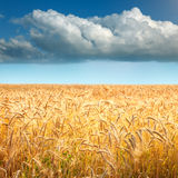 Golden wheat fields towards the big cloud Stock Photography