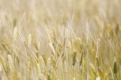 Golden wheat grain field. Background royalty free stock photography
