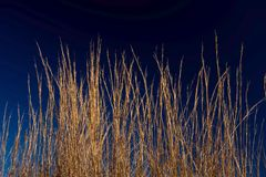 Golden wheat grass against deep blue sky Royalty Free Stock Image