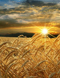 Golden wheat growing in a farm field. Ears of golden wheat against the evening sky Royalty Free Stock Images