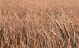 Golden wheat is growing on the field. Harvesting time Stock Photography
