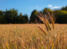 Golden wheat is growing on the field. Harvesting time Stock Photos