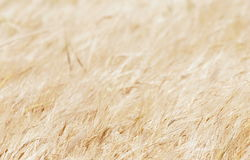 Golden wheat before harvest Royalty Free Stock Images