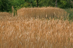 Golden Wheat harvest Kangra In Royalty Free Stock Photography