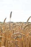 Golden wheat harvest season Stock Photo