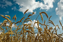 Golden wheat with idylic blue sky stock photo