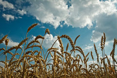 Golden wheat and idylic blue sky Royalty Free Stock Photo