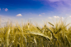 Golden Wheat In The Field. Stock Photos