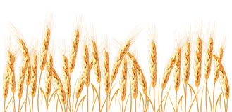 Golden wheat isolated on white background. Set of wheat ears. Background for farms and bakeries. Collection of elements for company logos, print products, page Royalty Free Stock Images
