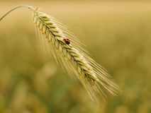 Golden wheat with ladybird. Close up of little ladybird sitting on a golden wheat stalk Stock Photography