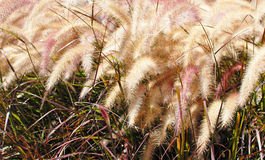 Golden Wheat Plant Royalty Free Stock Image
