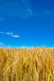 Golden wheat plant meadow under a blue vivid sky Stock Photo