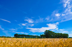 Golden wheat plant meadow under a blue vivid sky Stock Photography