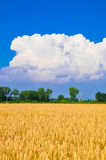 Golden wheat plant meadow under a blue vivid sky Royalty Free Stock Image
