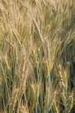 Golden Wheat Plants. Stems of gold and brown wheat close up view ready to harvest Stock Photos