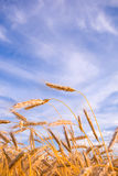 Golden wheat ready for harvest Stock Photo