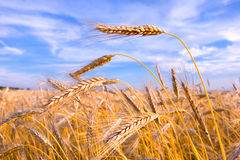 Golden wheat ready for harvest royalty free stock photography