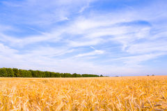 Golden wheat ready for harvest growing royalty free stock photo