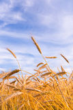 Golden wheat ready for harvest growing stock image