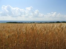 Golden wheat is ready for harvest Seneca Lake in background. Wheat is a grass widely cultivated for its seed, a cereal grain which is a worldwide staple food stock photo